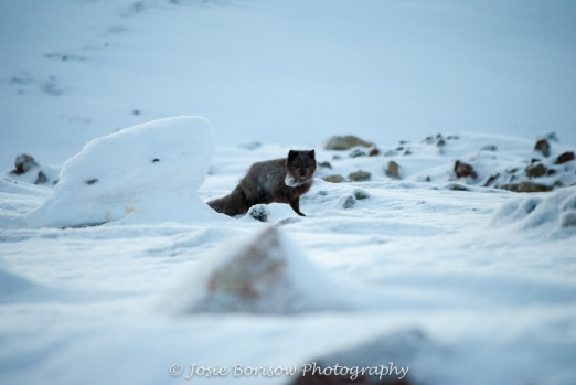 Arctic Fox, Photo by JosieB