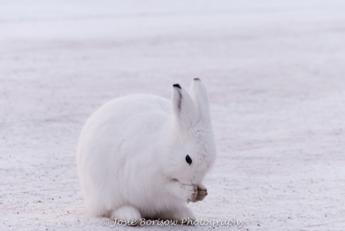 Arctic Hares in Greenland Photo by Josie B
