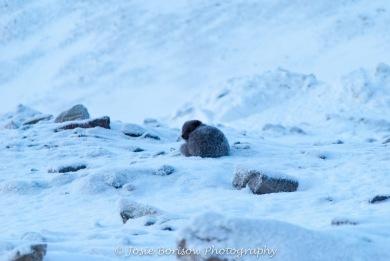 Arctic Fox, Photo by JosieB