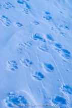 Sled Dog Prints Photo by Josie B