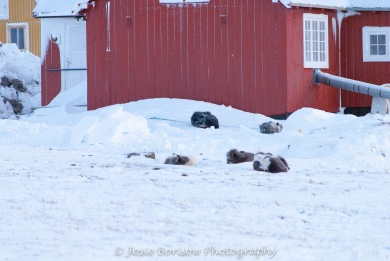 Sleeping Sled Dogs Photo by Josie B