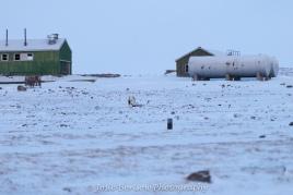 Inuit Hunter Pushing Sled Photo by Josie B