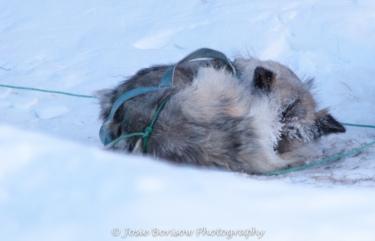 Sleeping Sled Dog Photo by Josie B