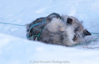 Sleeping Sled Dog Photo by Josie B