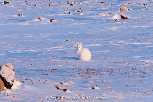 Arctic Hare Photo by Josie B